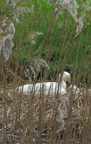 NestingSwan