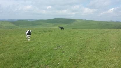 CattleDowns
